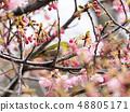 벚꽃과 동박새 48805171