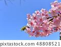 河津樱花和蓝天的早春[福冈] 48808521