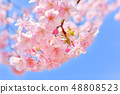 河津樱花和蓝天的早春[福冈] 48808523