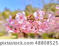 河津樱花和蓝天的早春[福冈] 48808525
