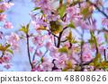 河津樱花和白眼鲷的早春[福冈县] 48808626