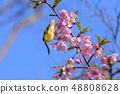河津樱花和白眼鲷的早春[福冈县] 48808628