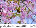 河津樱花和白眼鲷的早春[福冈县] 48808629