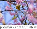 河津樱花和白眼鲷的早春[福冈县] 48808630