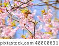河津樱花和白眼鲷的早春[福冈县] 48808631