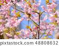 河津樱花和白眼鲷的早春[福冈县] 48808632