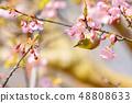 河津樱花和白眼鲷的早春[福冈县] 48808633