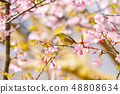 河津樱花和白眼鲷的早春[福冈县] 48808634