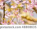 河津樱花和白眼鲷的早春[福冈县] 48808635