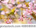 河津樱花和白眼鲷的早春[福冈县] 48808668