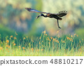 African Openbill, Anastomus lamelligerus 48810217