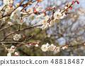 Plum blossoms of Dazaifu Tenmangu 48818487