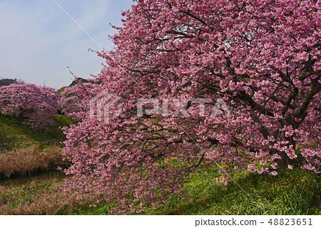 Kawazu cherry tree 48823651