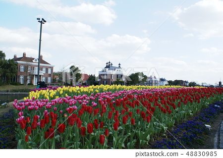 Tulip 48830985