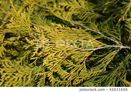 Golden Globe Arborvitae 48831686