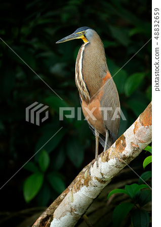 Bare-throated Tiger-Heron, Tigrisoma mexicanum 48832659