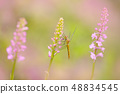 Orchid with dragonfly, Common Fragrant Orchid 48834545