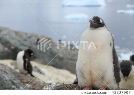 Antarctic penguins 48837907