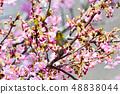 Meiro和Sakura 48838044