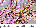 Meiro和Sakura 48838045