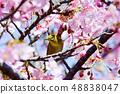Meiro和Sakura 48838047