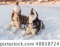 Dogs howl. Siberian huskies dogs howl  48838724