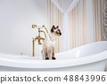 The theme is luxury and wealth. A cat without a tail of the Mekong Bobtail breed in a retro bathroom 48843996