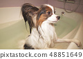 Wet Papillon dog stands in the bathroom 48851649