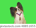 Beautiful dog Papillon with medal for first place on the neck on green background 48851655