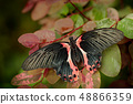 Papilio rumanzovia, beautiful black pink butterfly 48866359