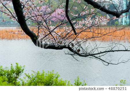 Umeino櫻花盛開上野皇家公園在雨中觀賞櫻花 48870251