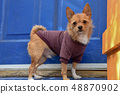 Chihuahua wearing a jumper 48870902