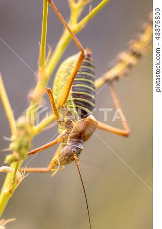 Saddle backed bush cricket 48876809