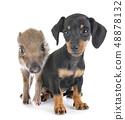 puppy miniature dachshund and wild boar 48878132