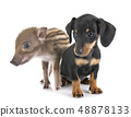 puppy miniature dachshund and wild boar 48878133