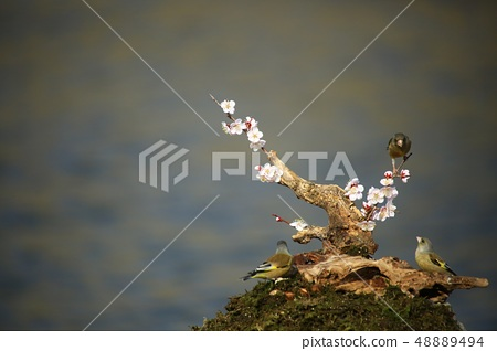 방울새,조류,봄 48889494