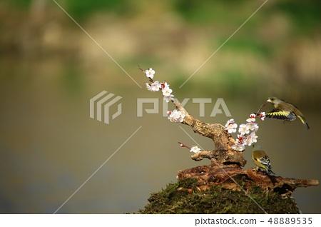 방울새,조류,봄 48889535