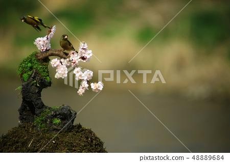 방울새의 사랑, 봄 48889684
