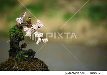 방울새의 사랑, 봄 48889722