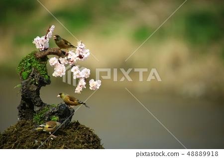 방울새의 날갯짓, 조류 48889918
