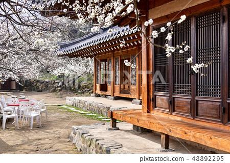 매화,청매실농원,광양시,전남 48892295