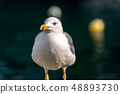 Seagull on a dark background - Front view 48893730