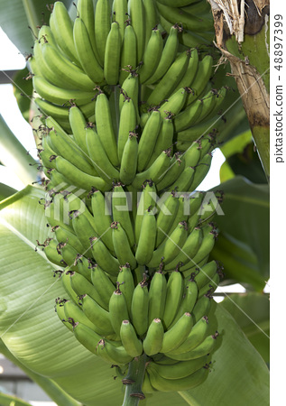 香蕉 48897399
