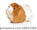Guinea pig 48932968