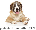 Central Asian Shepherd puppy resting on white 48932971