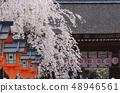 垂枝櫻花和燈籠 48946561