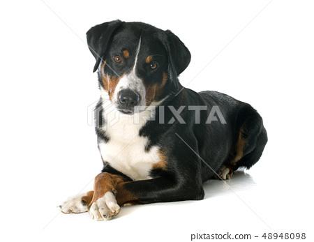 Appenzeller Sennenhund 48948098