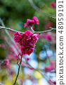 Red plum 48959191