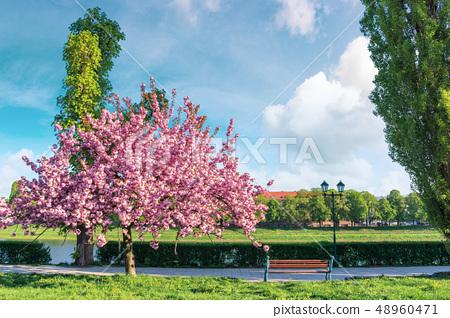 sakura tree in blossom on the embankment 48960471