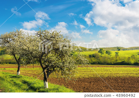 blossoming trees near the agricultural field 48960492